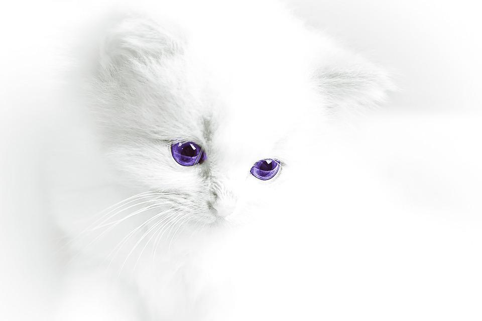 Cat Baby, Cat, White, Domestic Cat, White Cat
