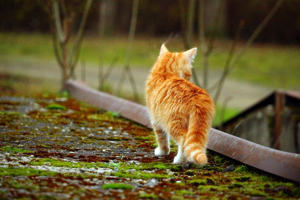 Cat, Cat Baby, Red Mackerel Tabby, Moss, Autumn, Kitten