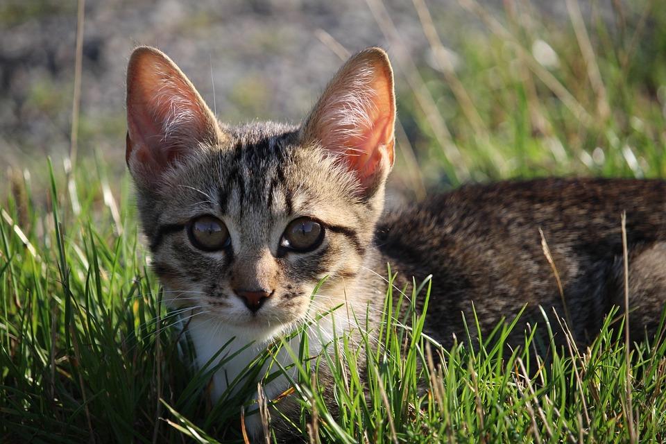 Cat, Kitten, Cat Baby, Mackerel, Young Cat