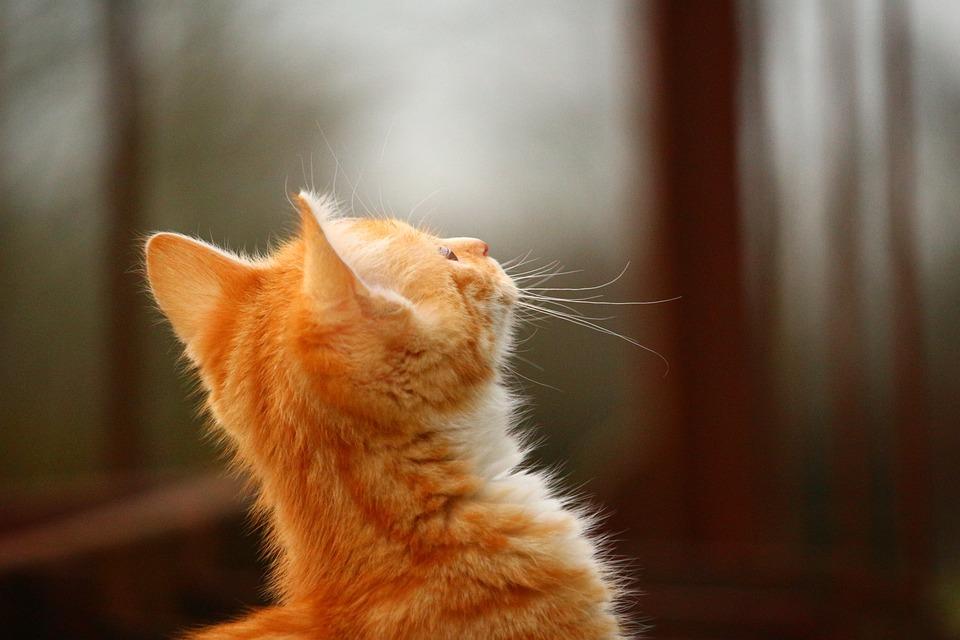 Cat, Kitten, Red Mackerel Tabby, Red Cat, Cat Baby