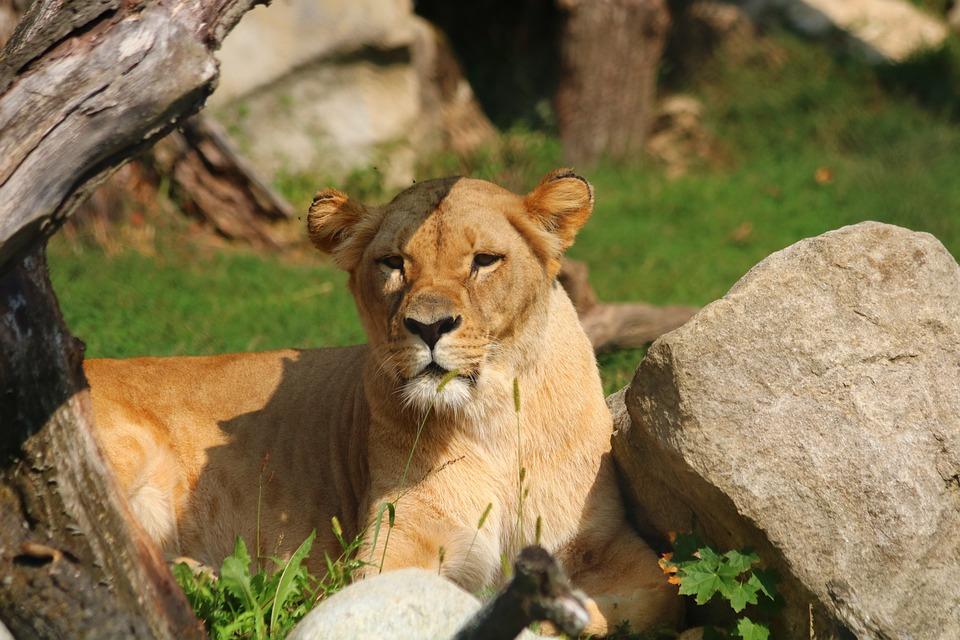 Lioness, Beast, Cat, Animal, View, Zoo