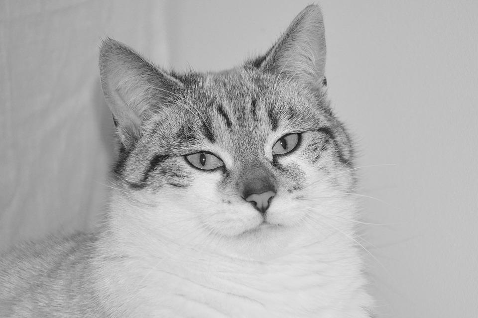 Cat, Black And White Photo, Cute, Pussy Cloud