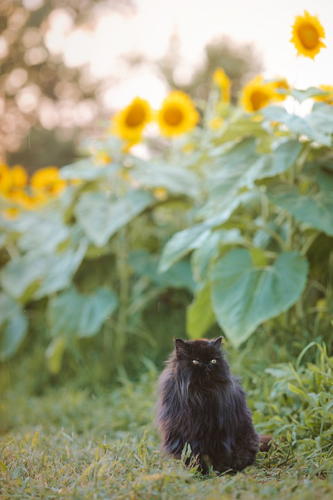 Persian Cat, Cat, Pet, Black Cat, Animal, Domestic Cat
