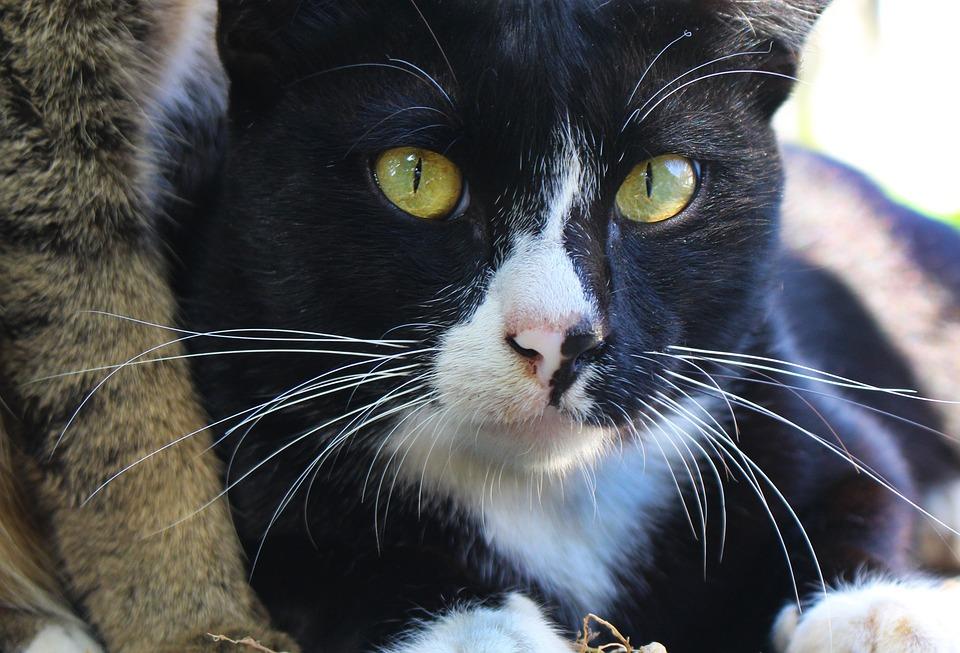 Black Cat, Cat, Feline, Black, Animal, Pet, Domestic