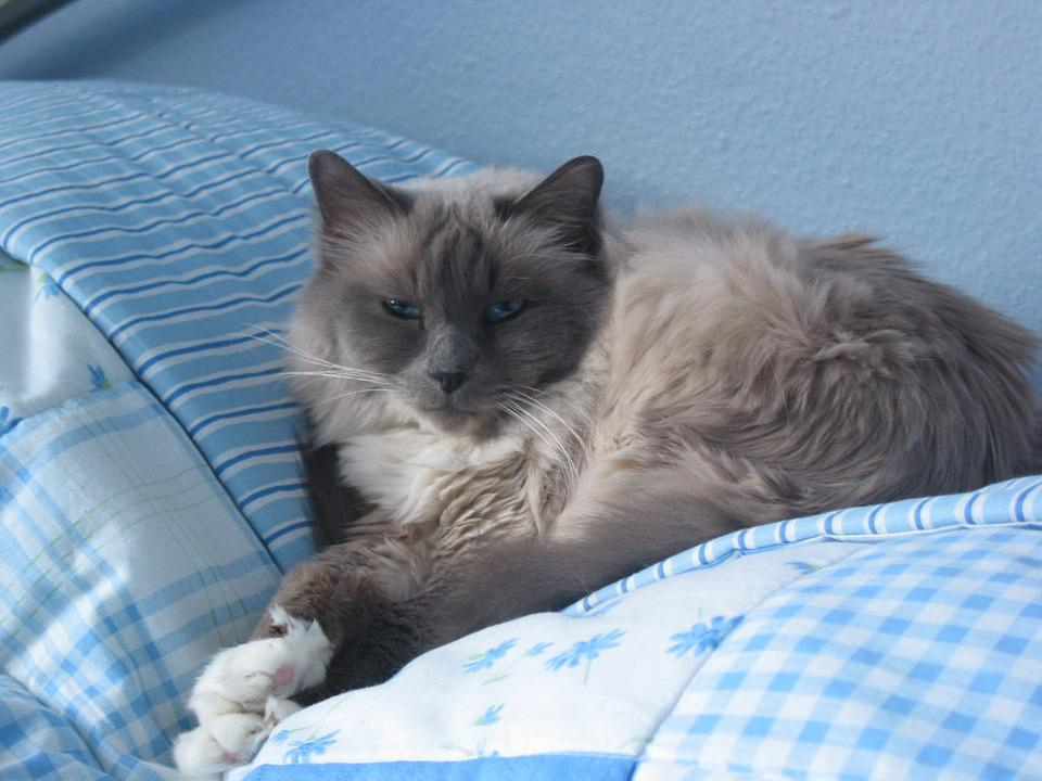 Cat, Sacred Birman, Breed Cat