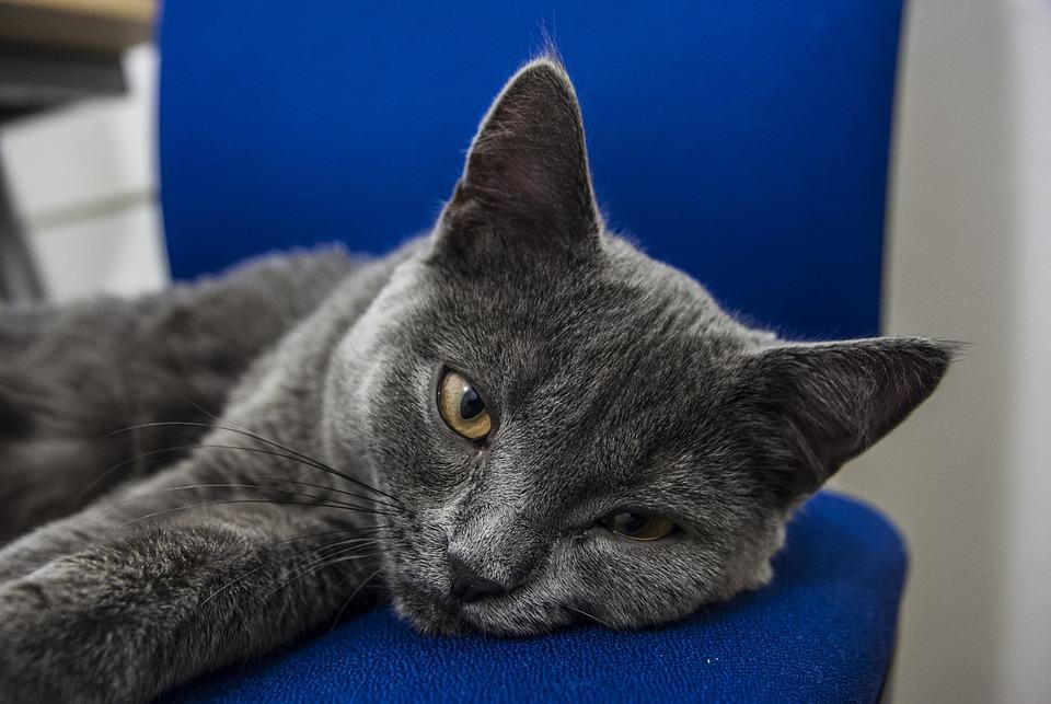 British Blue Cat, British Shorthair, Tomcat, Cat
