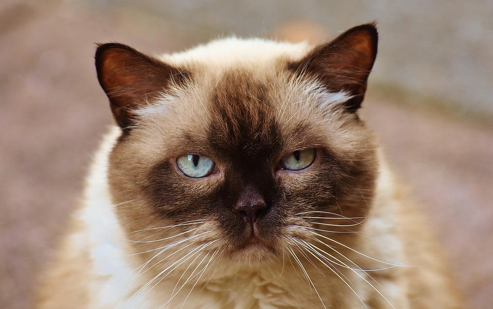 Cat, British Shorthair, Mieze, Blue Eye, Thoroughbred