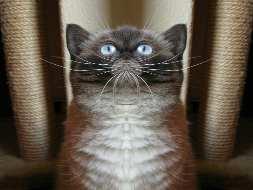 Cat, Blue Eye, Mirroring, Funny, British Shorthair