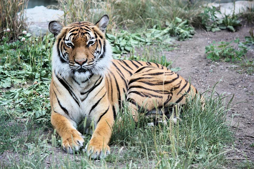 Tiger, Siberian, Beast, Cat, Carnivore, Mammal, Animal