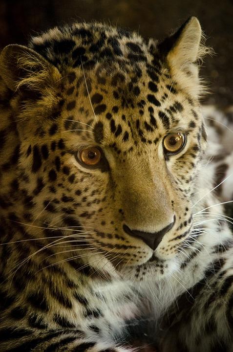 Cat, Animal World, Carnivores, Leopard, Predator