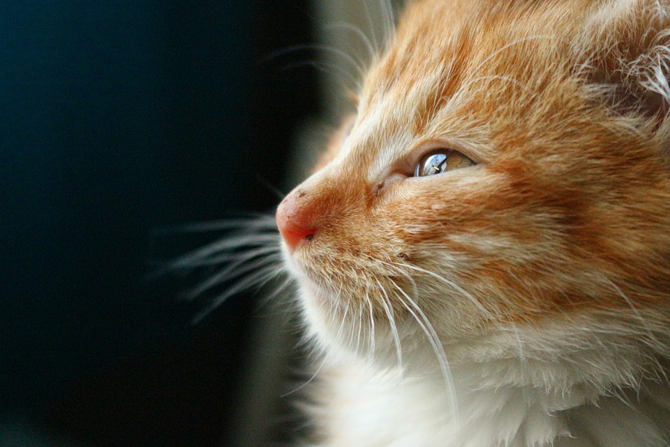 Kitten, Cat Baby, Cat, Mackerel, Mieze