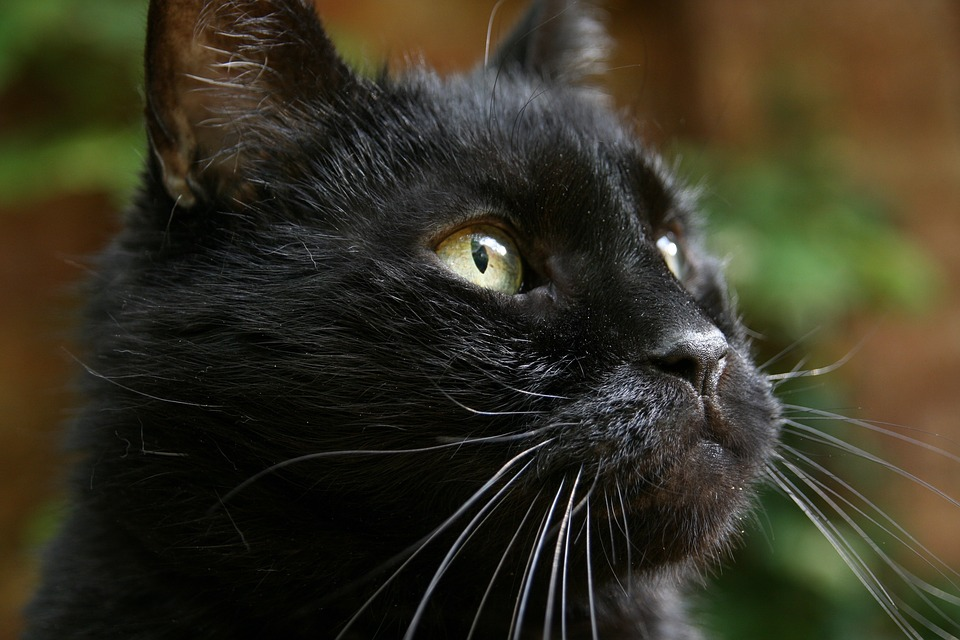 Cat, Black, Domestic Cat, Cat Face