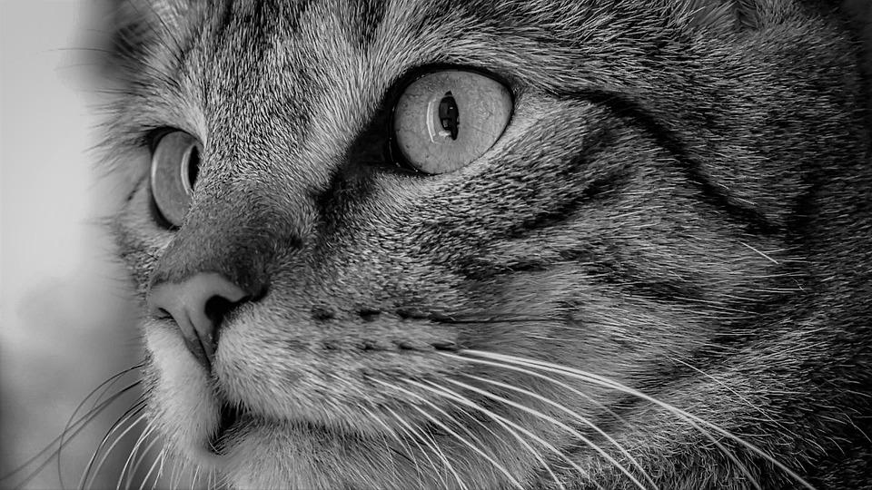 Cat, Cat Face, Close Up, Black, White, Domestic Cat