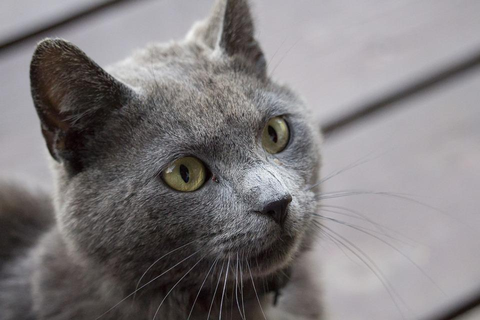 Cat, Gray, Pet, Charming, Kitten, Fur