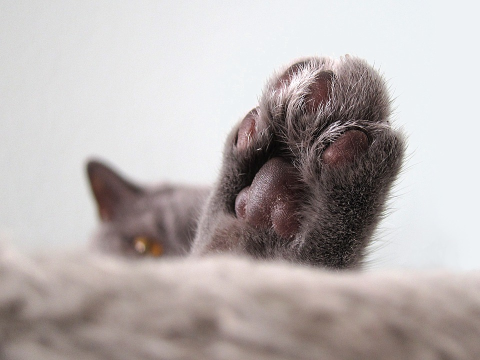 Cat, Close, Paw