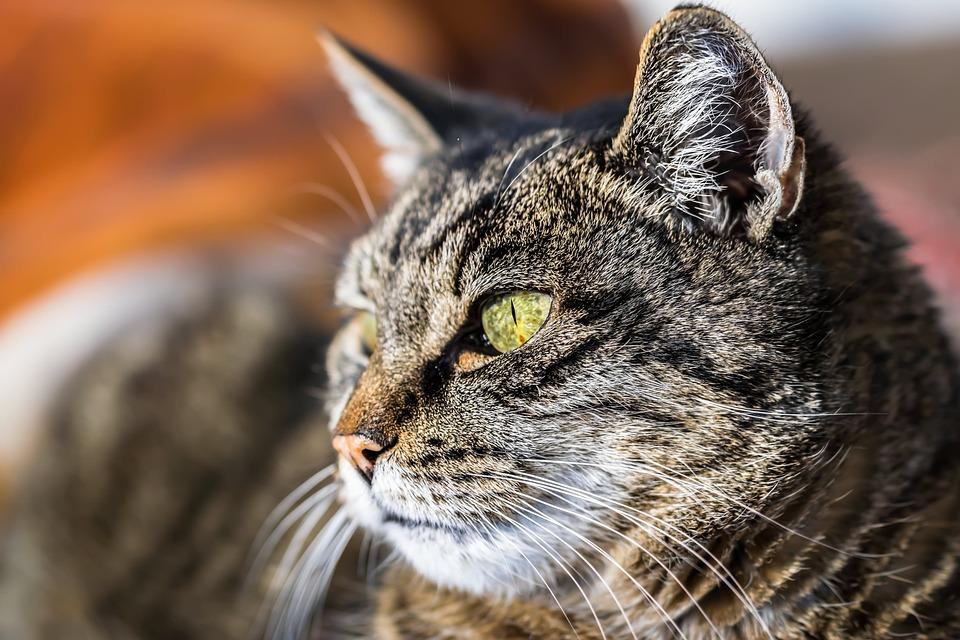 Animal, Cat, Pet, Fur, Close Up, Cat's Eyes