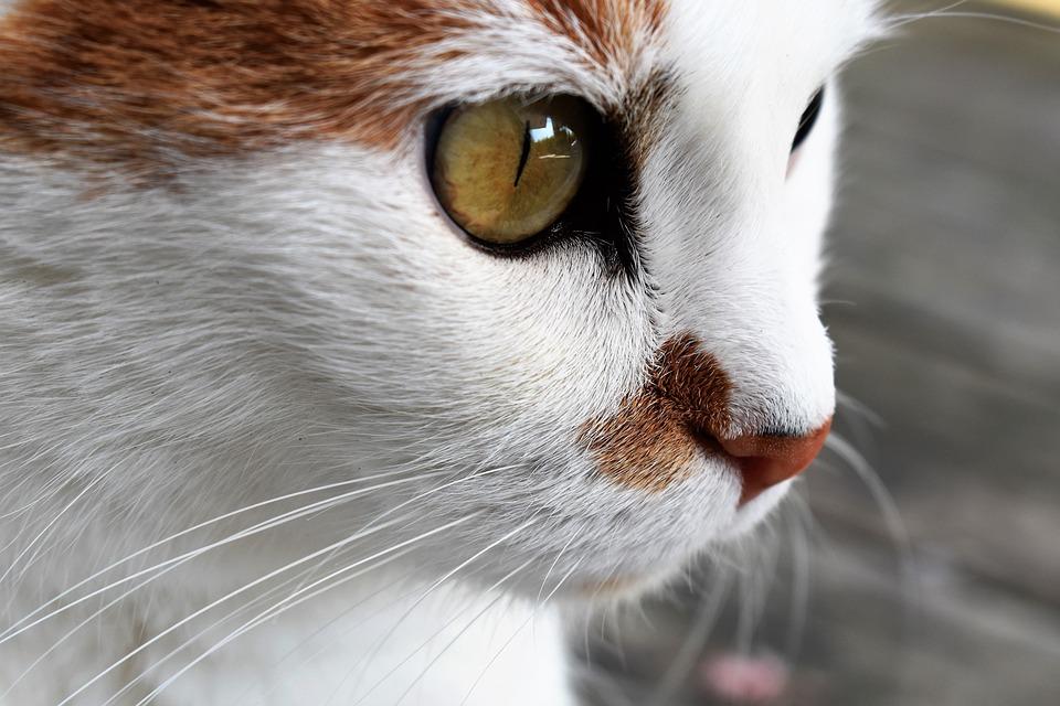 Cat, Animal, Close Up, Pet, Cat's Eyes, Domestic Cat