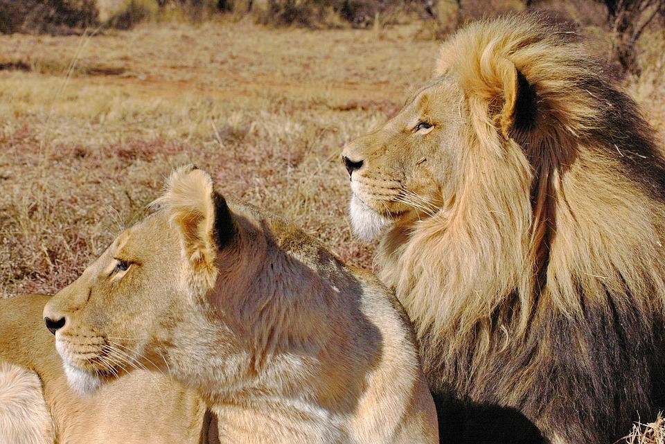Lion, Lions Couple, Pair, Cat Couple, Cat, Brown, King