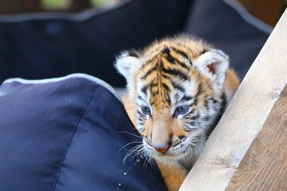 Tiger, Cub, Feline, Cat, Animal