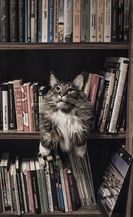 Maine Coon, Cat, Bookshelf, Feline, Animal, Cute
