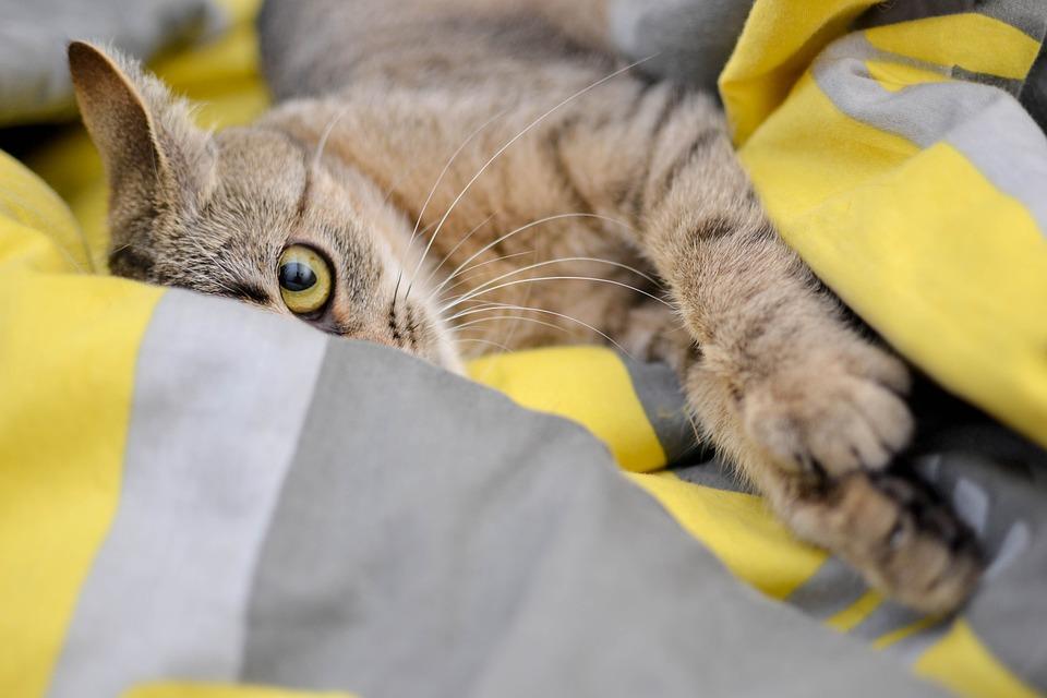 Cat, Domestic Cat, Look, Cat's Eyes, Bury Cat, Animal