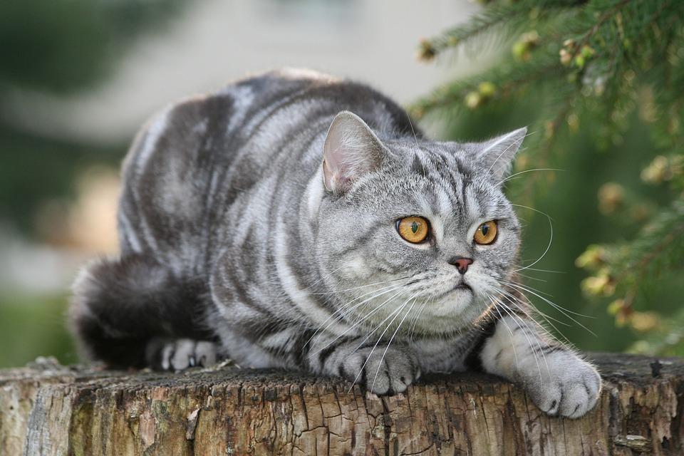 Cat, Domestic Cat, Mackerel, Cat's Eyes, Kitten