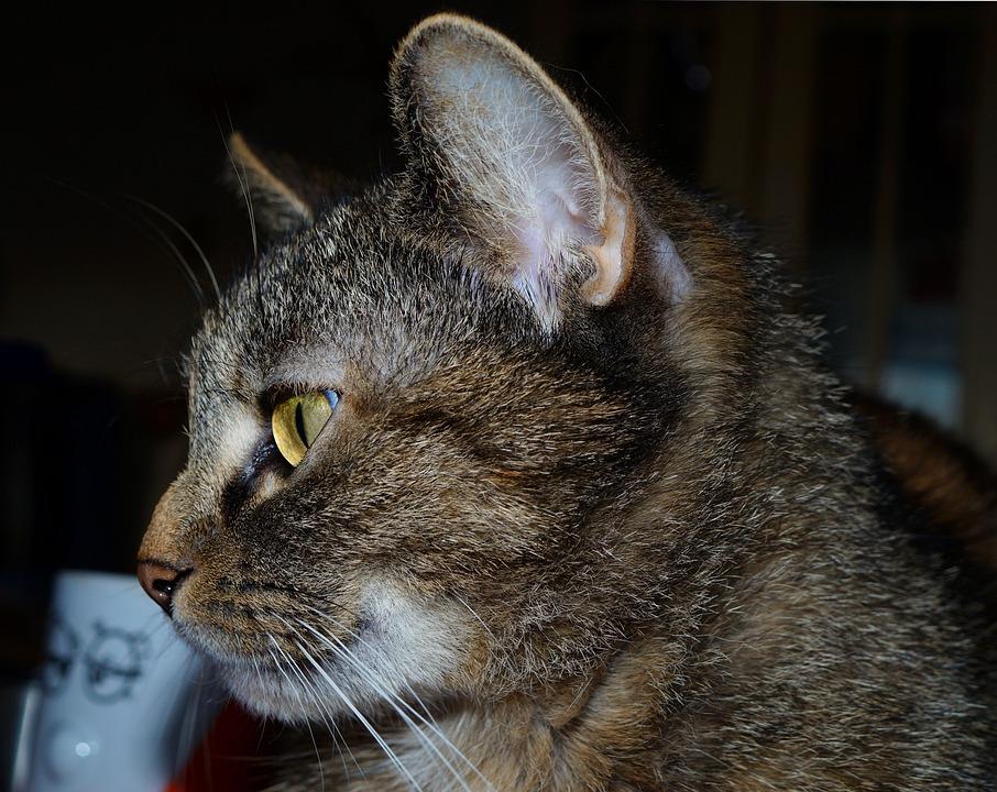 Cat, Domestic Cat, Female, Pet, Cat's Eyes, Mieze