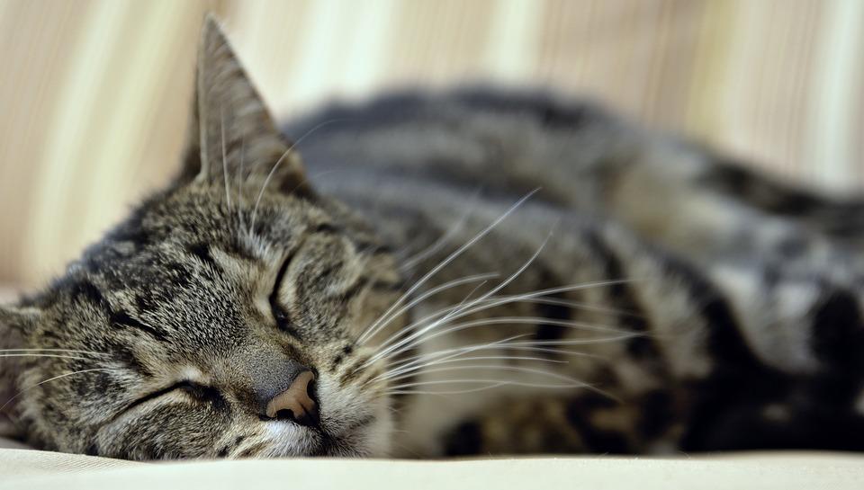 Cat, Domestic Cat, Pet, Animal, Mackerel, Animal World