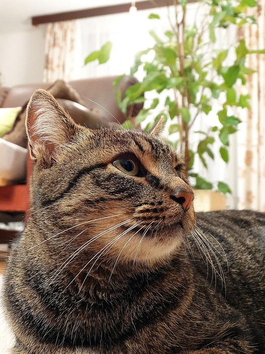 Cat, Domestic Cat, Pets, állatportré