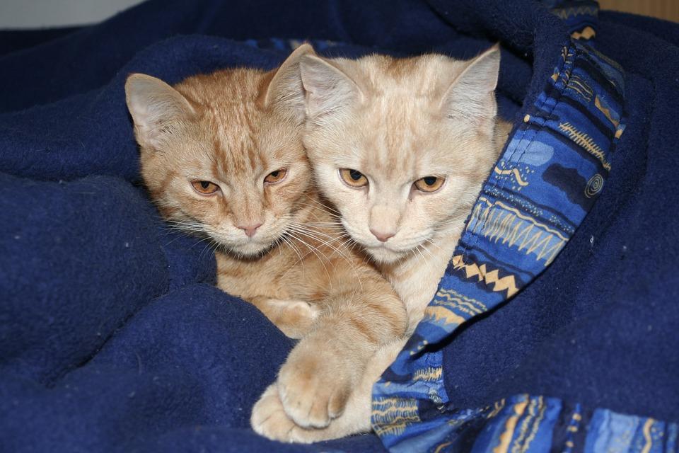 Cat, Domestic Cats, European Shorthair, Ekh