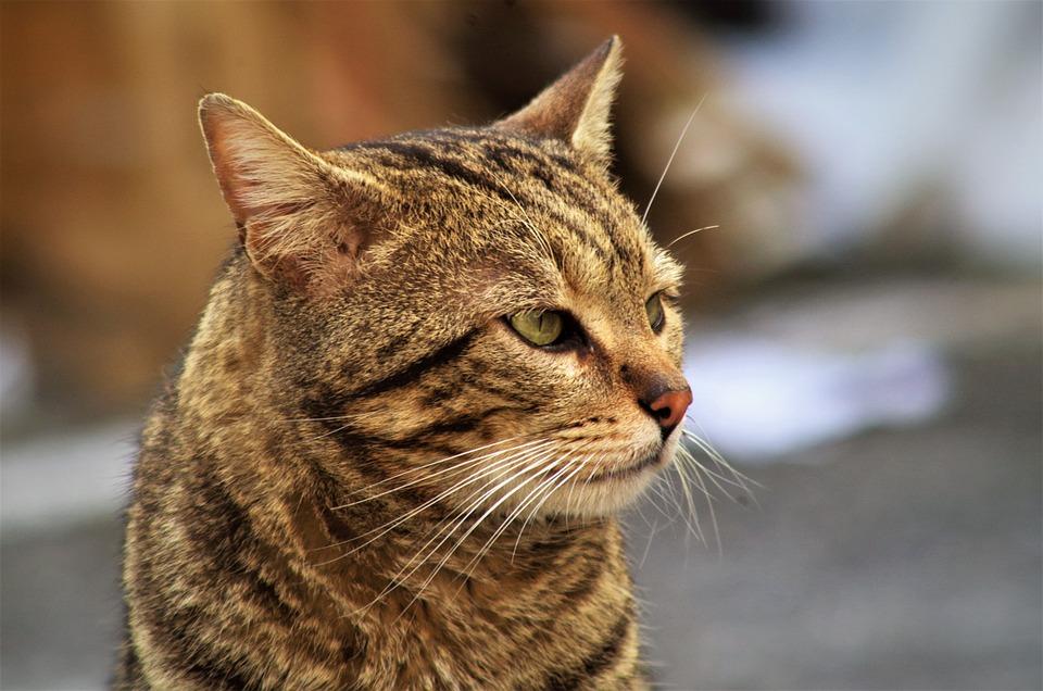 Cat, Calico Cat, Cat European