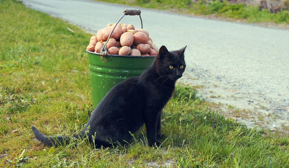 Cat, Animal, Potato, Pet, Cat Eye, Fluffy Cat
