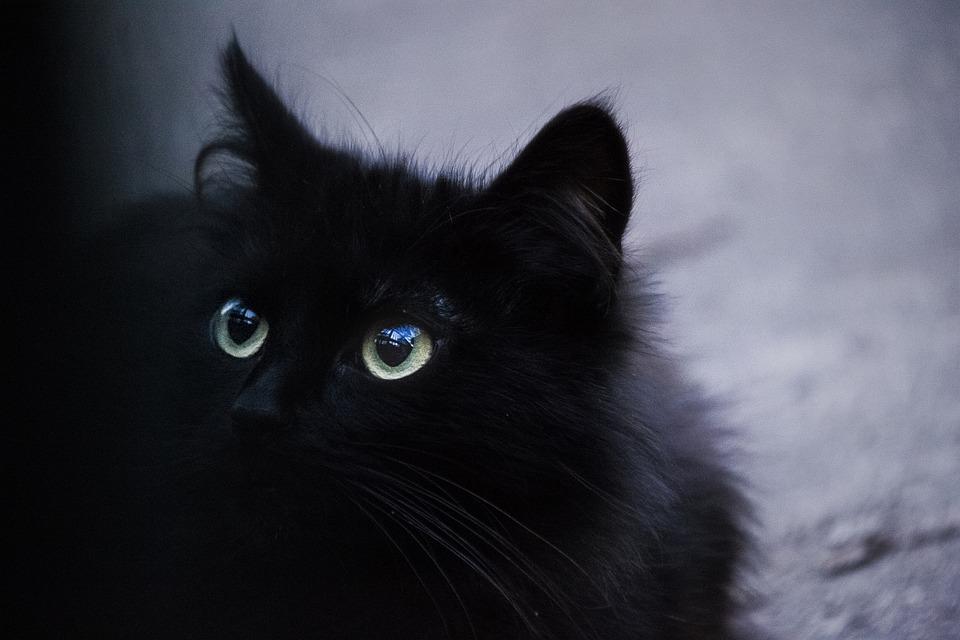 Cat, Black Cat, Lyon, Feline, Animal, Cat Eyes, Black