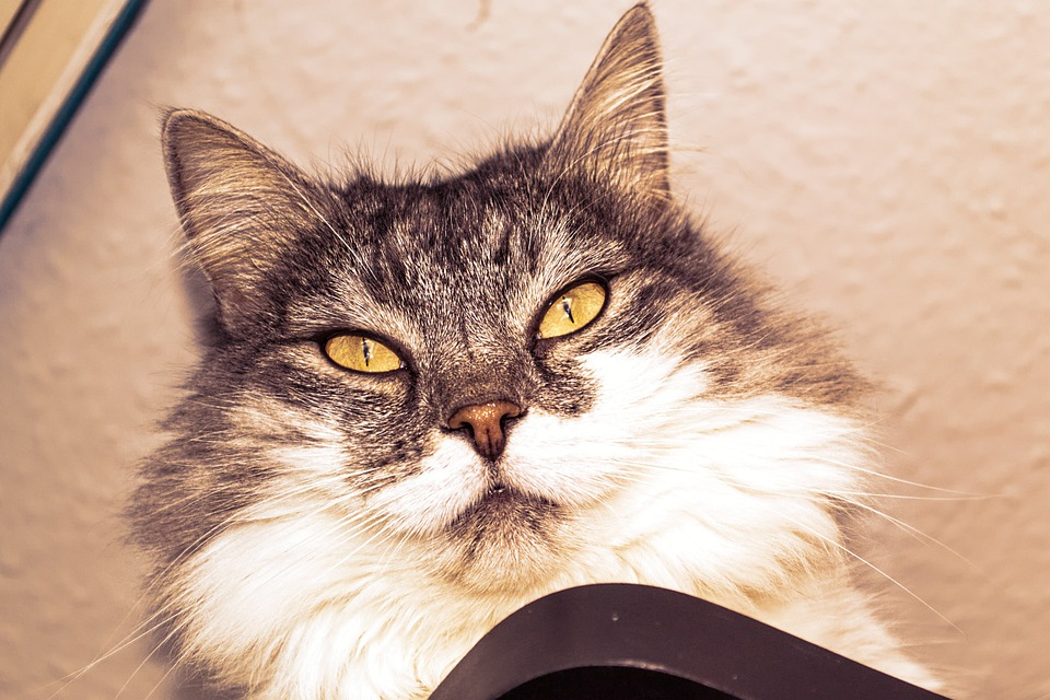 Cat, Face, Eyes, Cat Face, Animal, View, Wuschelig