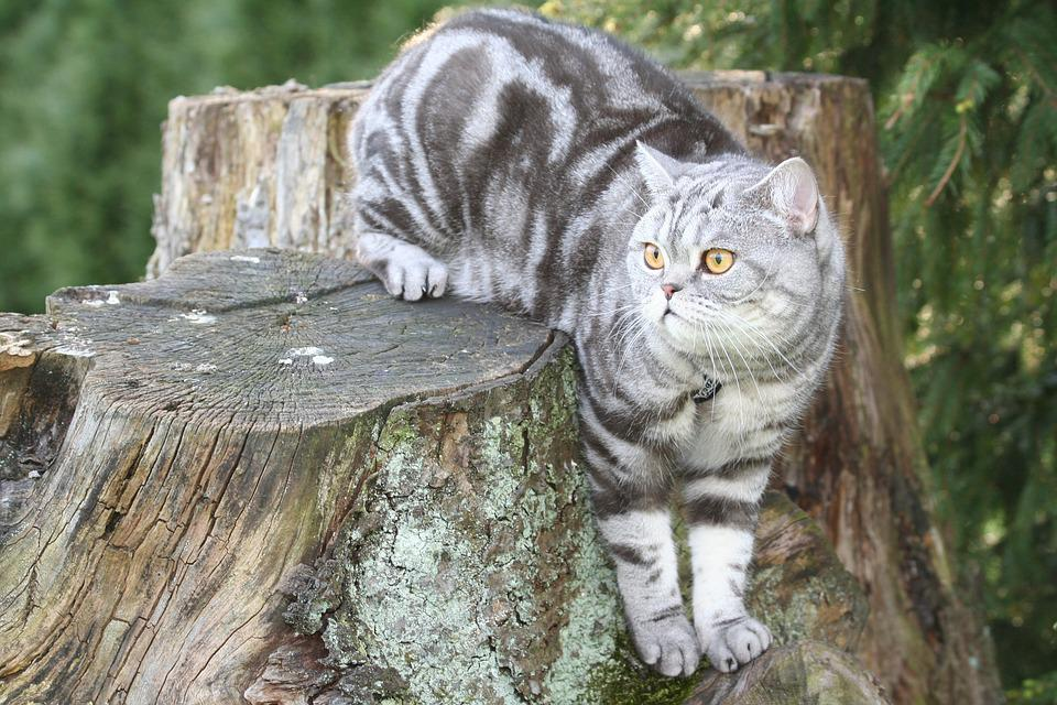 Cat, Silver, Domestic Cat, Cat Face, Cat's Eyes, Fur