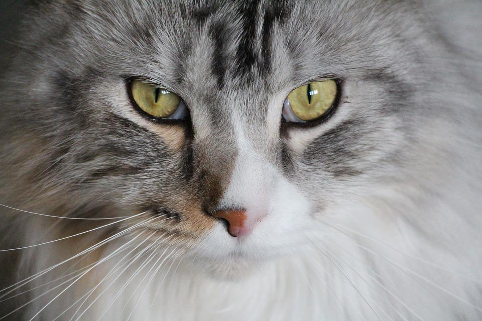 Maine coon feline cat