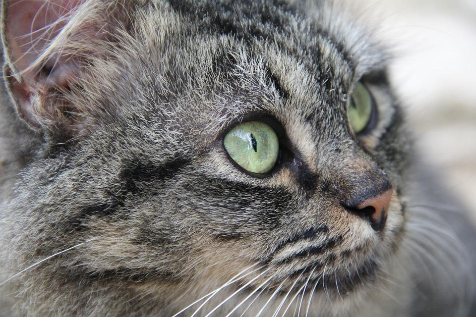 Cat, Kitten, Gata, Feline, Pet, Animal, Cat Face, Grey