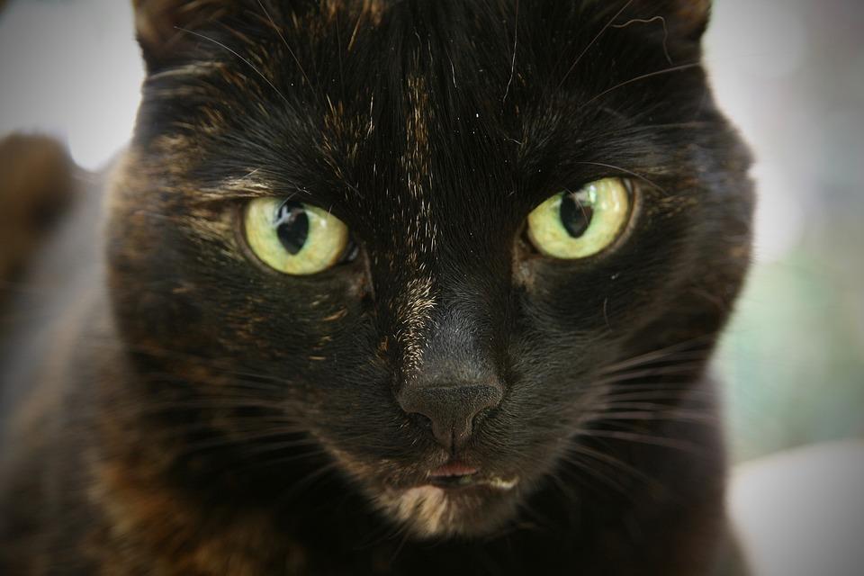 Cat, Pet, Tortoise Shell, Cat's Eyes, Cat Face
