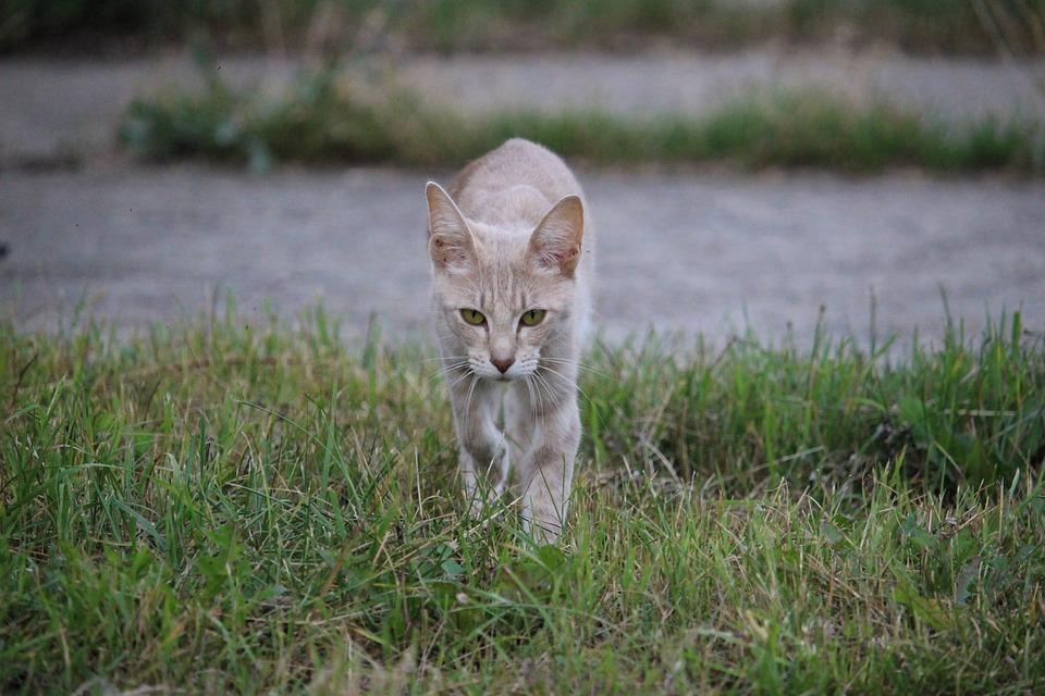 Cat, Breed Cat, Domestic Cat, Siamese Cat, Felidae, Pet