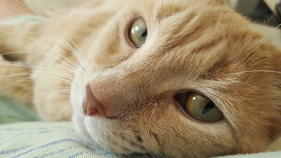 Cat, Feline, Close Up Cat, Animals