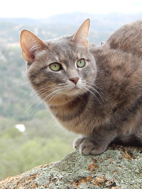 Blue Torbi, Cat, Rock, Animal, Feline, Mammal