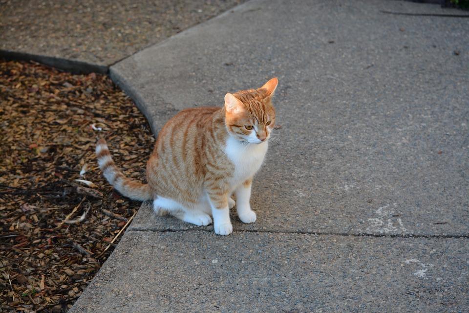 Cat, Standing, Feline, Pet, Animals, Domestic, Outdoors