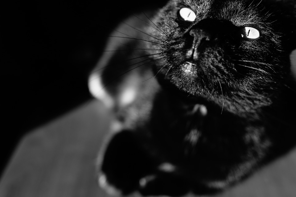 Cat, Black, Eyes, Feline, Pet, Halloween, Portrait