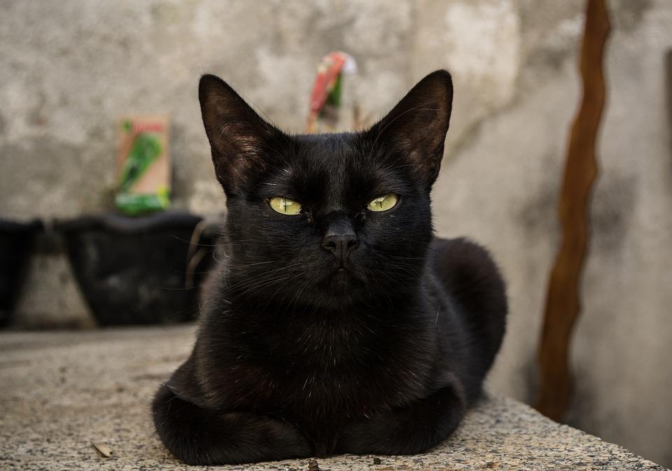 Cat, Pet, Animal, Portrait, Fur, Feline, Kitten, Eyes