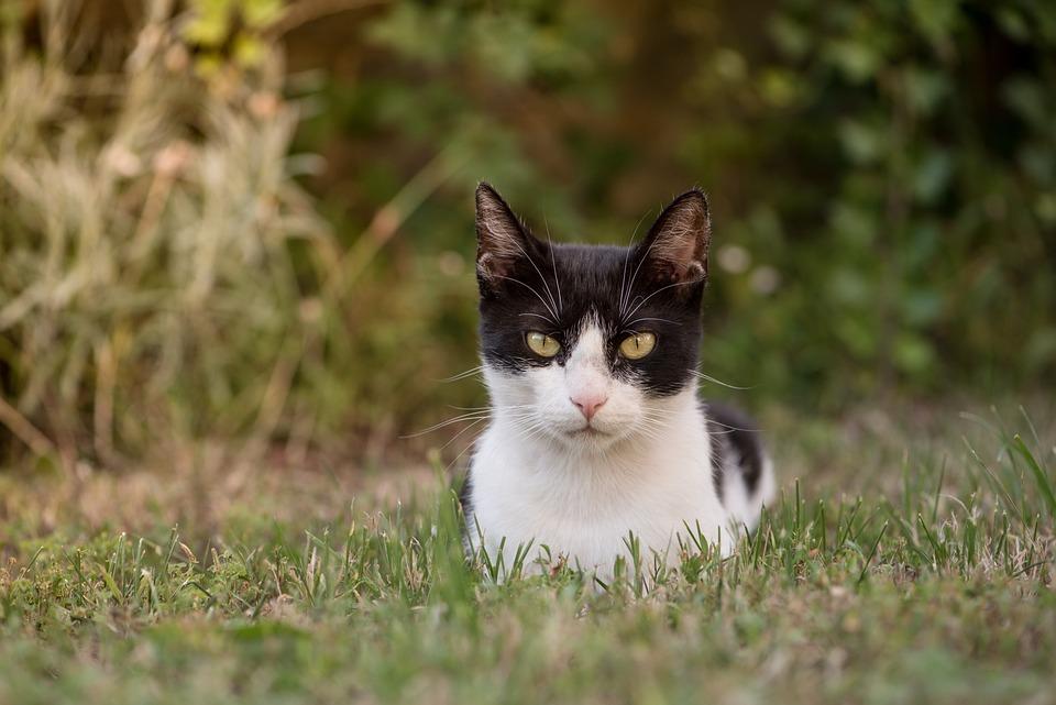 Kitten, Cat, Feline, Pet, Lying, Facial, Domestic Cat