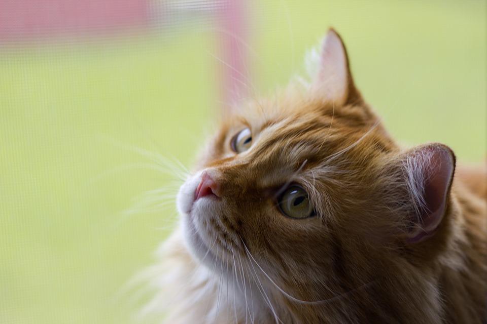 Cat, Kitty, Cute, Feline, Fur, Tabby, Whisker, Orange