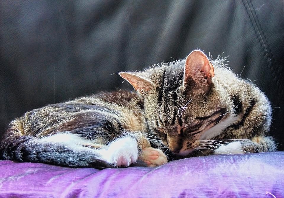 Cat, Feline, Resting, Animal, Cute, Kitten, Domestic