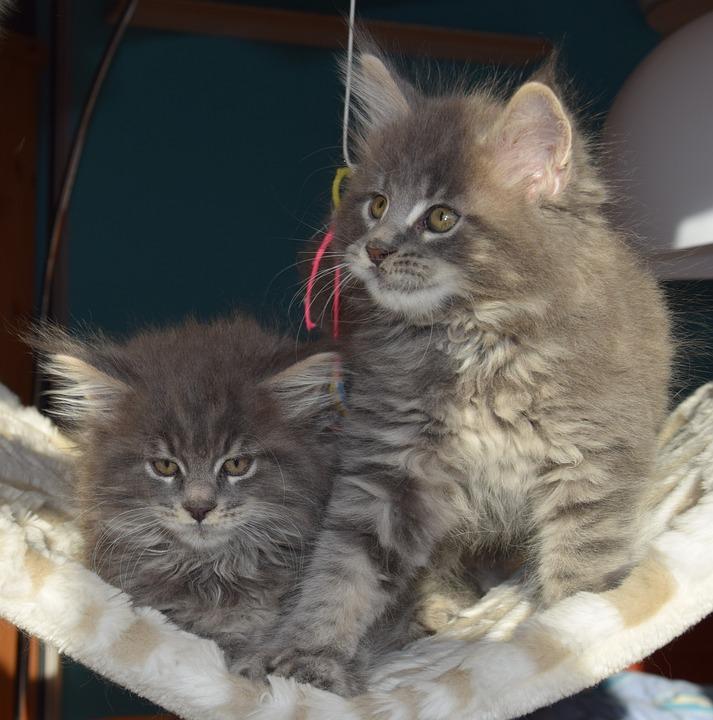 Persian, Cat, Grey Fur, Pets, Kitten, Fluffy, Mammal