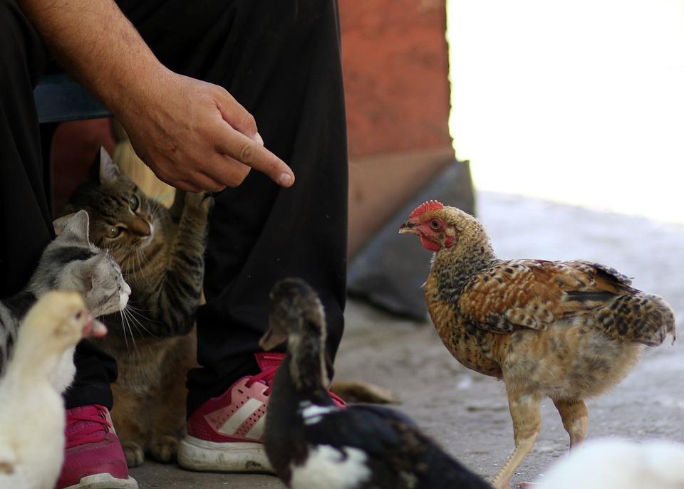 Cat, Rate, Chicken, Friends, Pet, Food, Cute