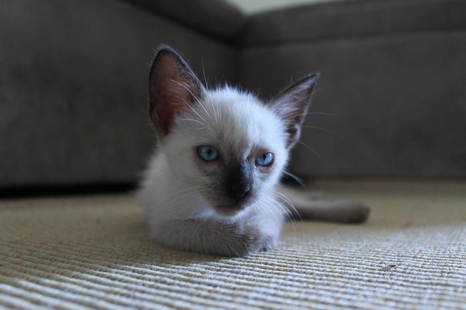 Kitten, Kitty, Fur, Cat, Pet, Animal, Cute, Domestic